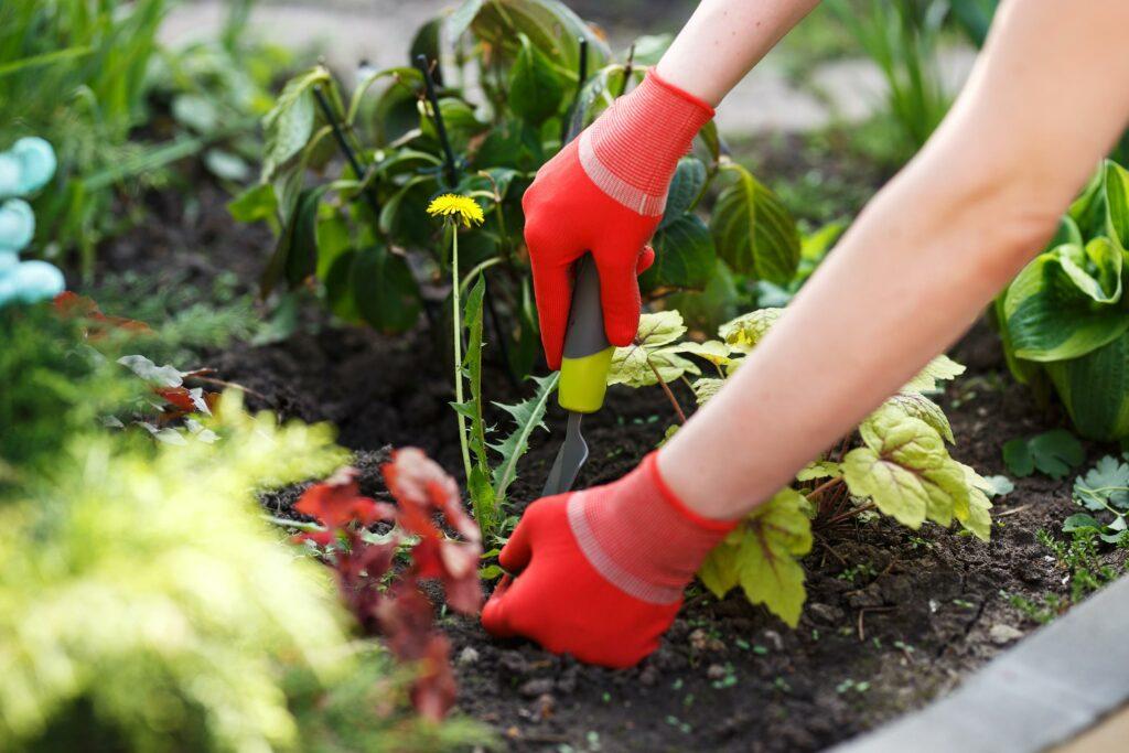 Hands pulling weeds from garden